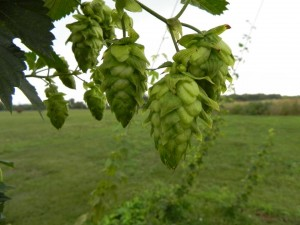 Growing hops in Ontario: A look back on brewer considerations in 2009