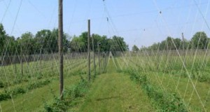 Mulch Ado About Weeds: Management Strategies For Hops