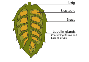 Cross-section_of_hop_cone