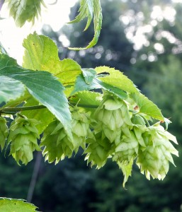 2014 Hops Field Day & Tour @ MSU Horticultural Research Center   Traverse City   Michigan   United States