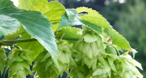 Press Release: Statewide Hop Growers Network Established