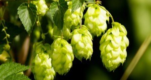 2013 and 2014 USA Hop Acreage Report Now Available