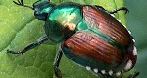 Problems With Japanese Beetles?