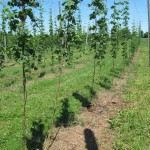 Hops have been striped to 5', and all untrained shoots and basal spikes removed.
