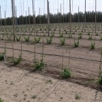 University of Guelph research hop yard with stringing completed and hops trained, Spring 2014