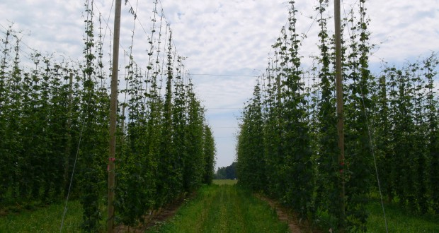Hop Update (Fertility and Irrigation)
