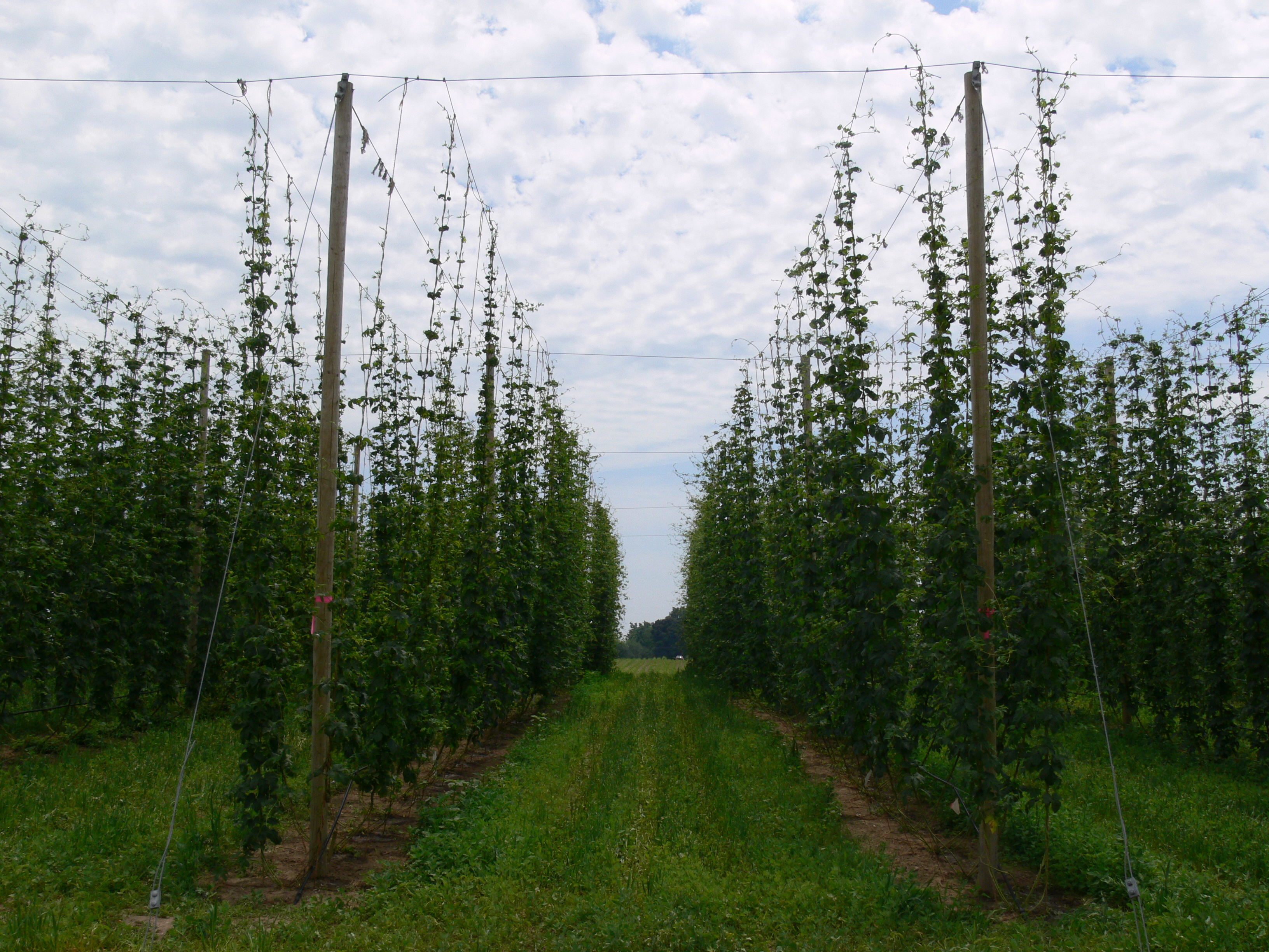 Hop Update Fertility And Irrigation Ontario Hop