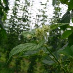 Firgure 1: Burr formation on Hallertauer hops in the University of Guelph Simcoe research hop yard (June 23, 2014)