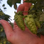 Calling all growers to participate on OHGA's hops benchmark project to identify key harvest dates!