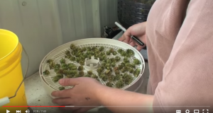 Determining Hop Harvest Moisture and Ideal Storage Dry Matter – 2015 Ontario hop harvest