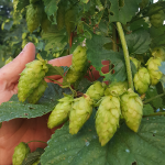 Sources for hops Alpha Acid Unit (AAU) testing for Ontario hop growers – where to send