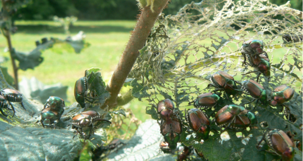 Managing Japanese beetles without chemicals – can it be done?