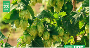 Hop growing across America